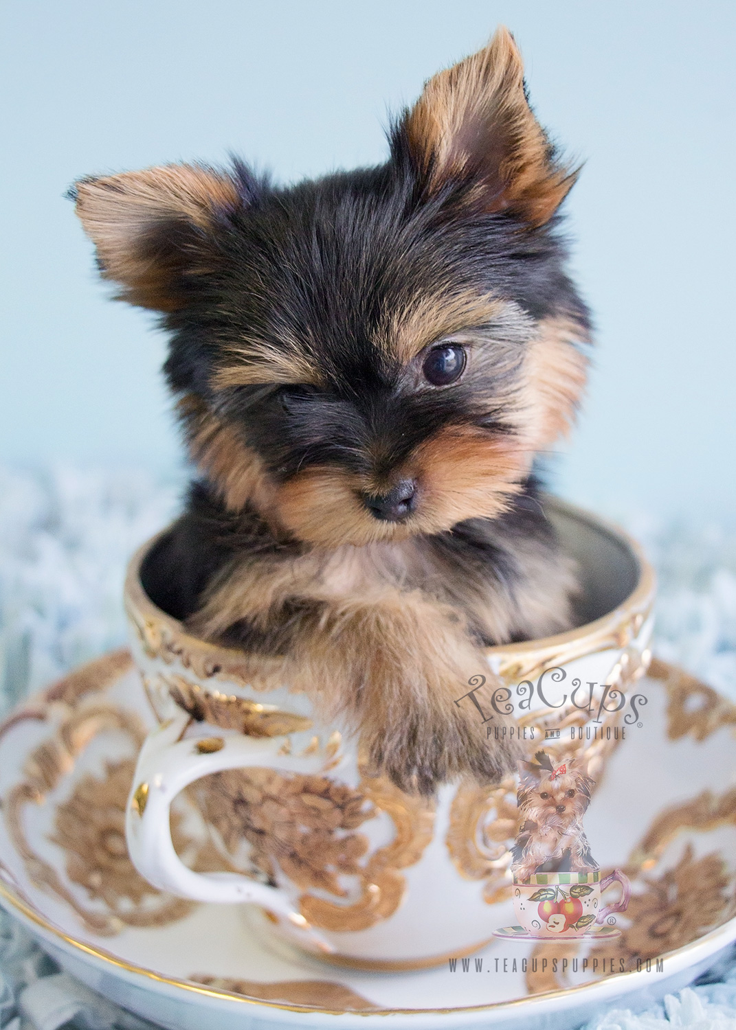 Teacup Yorkies at Teacups Puppies and Boutique