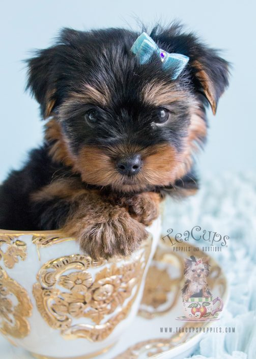 Cute male yorkies available davie