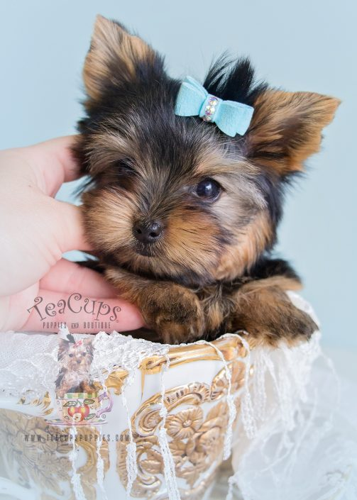Teacup Male Yorkie For Sale