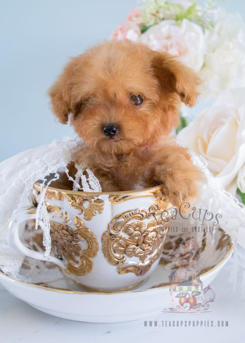 Available at Teacups Puppies, Apricot Poodle Puppies