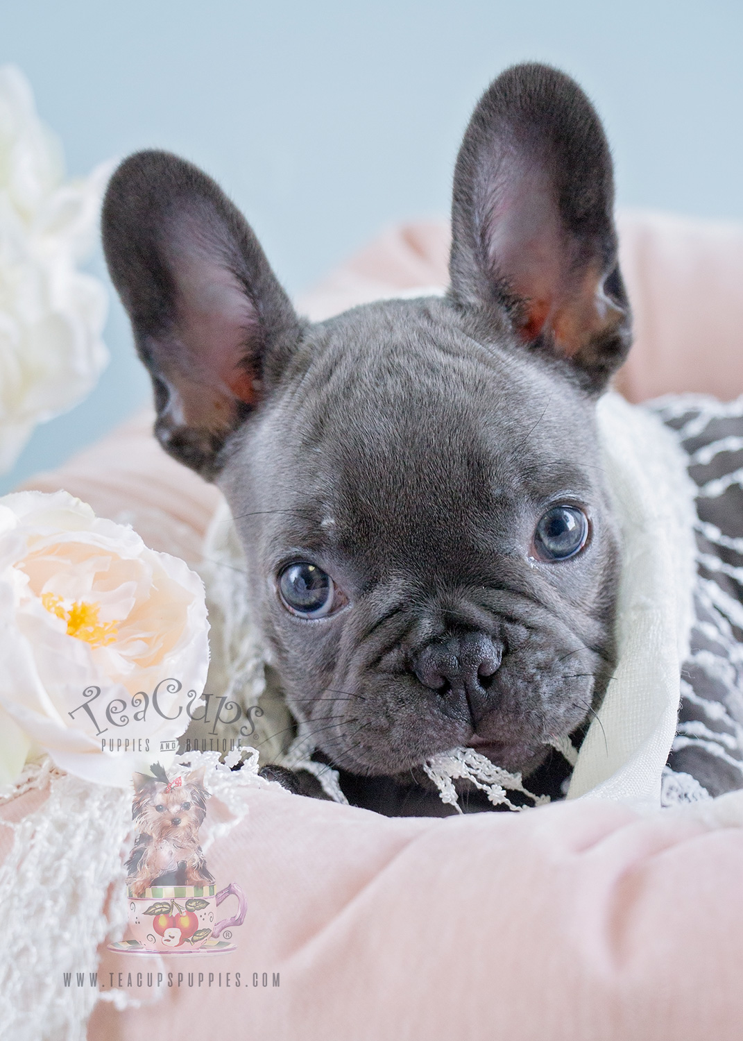 Blue Female Frenchie Puppies For Sale In Davie Florida