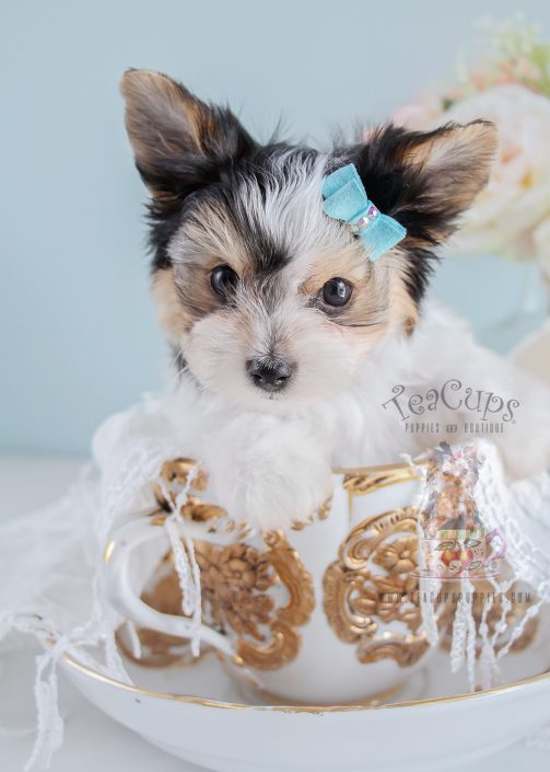 Teacup Puppies Biewer Yorkie Puppy For Sale 193 Teacup Puppies Biewer Yorkie Puppy For Sale 193