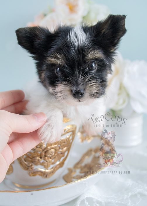 Biewer Terrier Puppies For Sale By Teacups Puppies