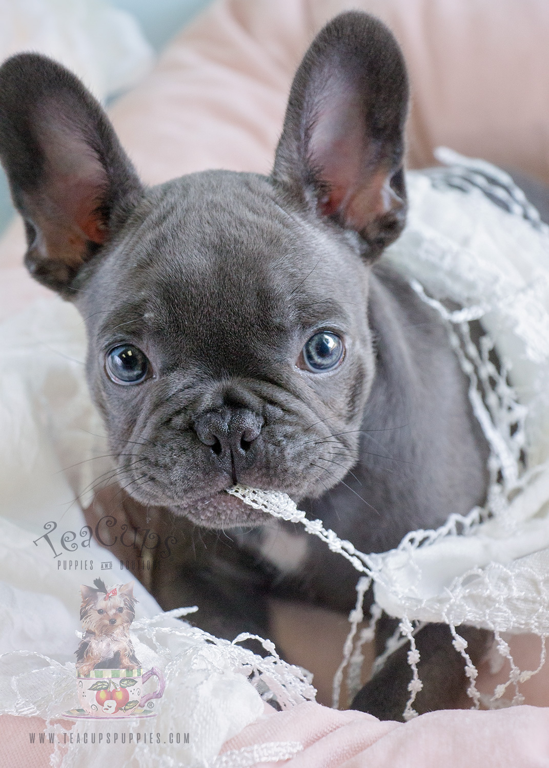 Female Blue French Bulldog Puppy by Teacups Puppies