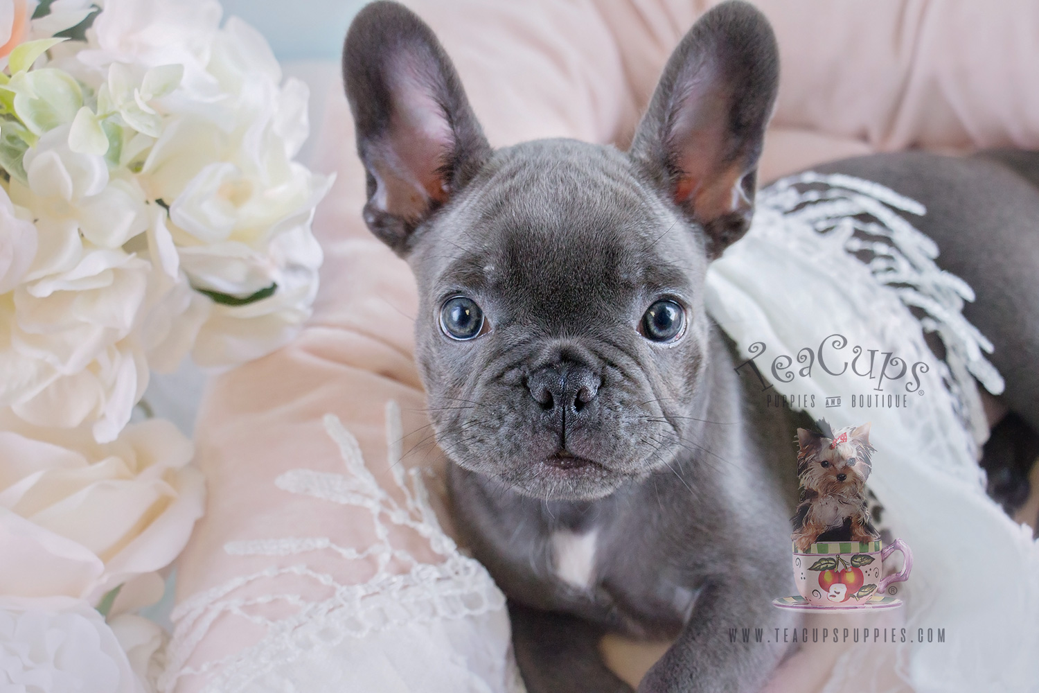 Blue French Bulldog Puppy For Sale #182