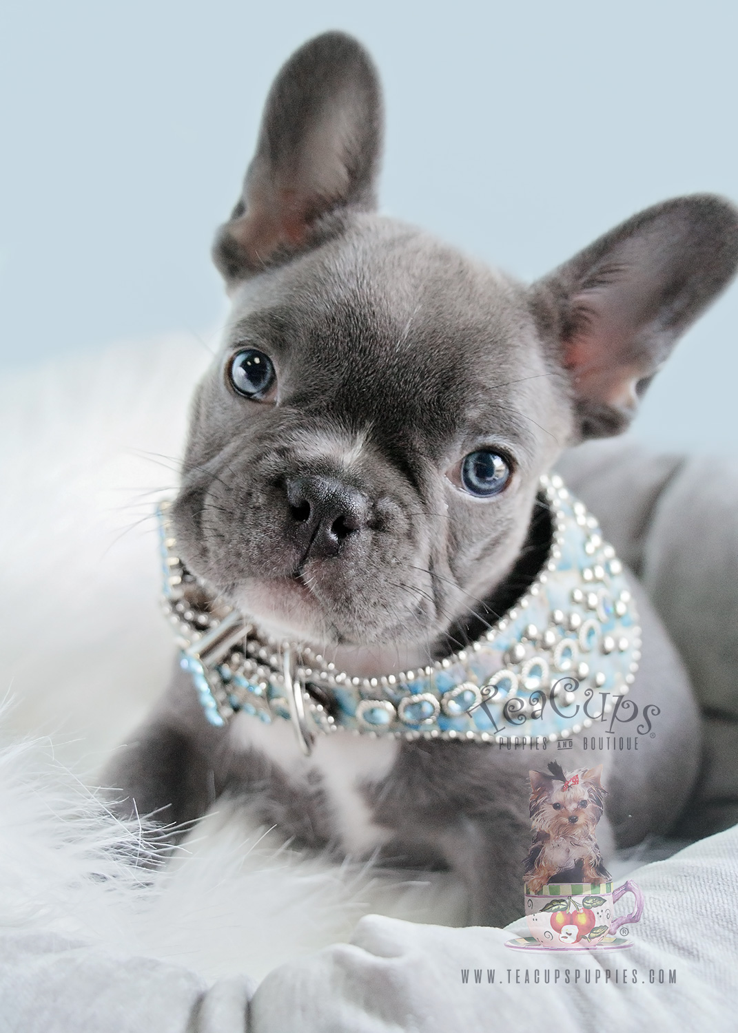Male Blue Frenchie by Teacups Puppies