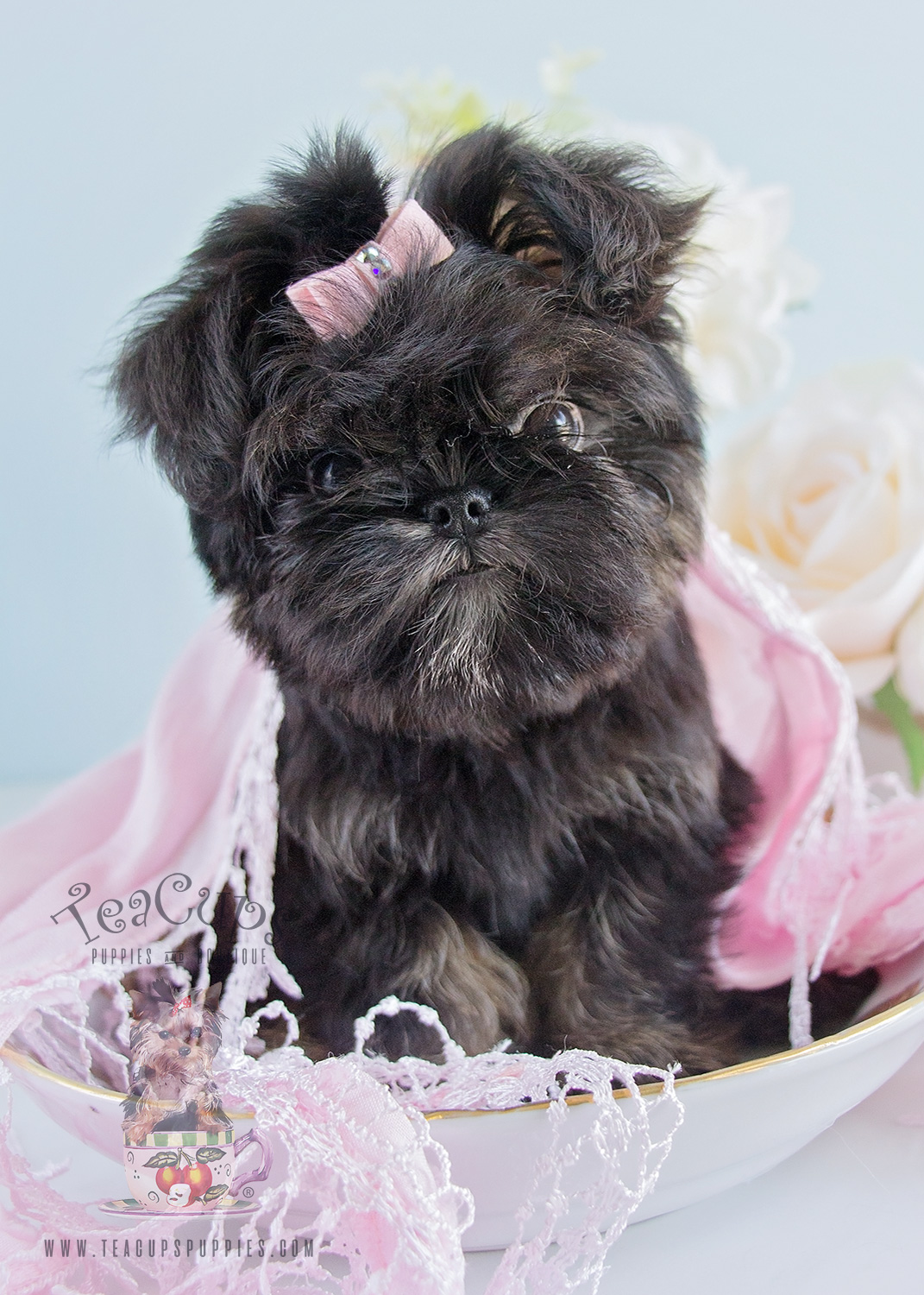 187 Teacup Puppies Brussels Griffon Puppy For-Sale
