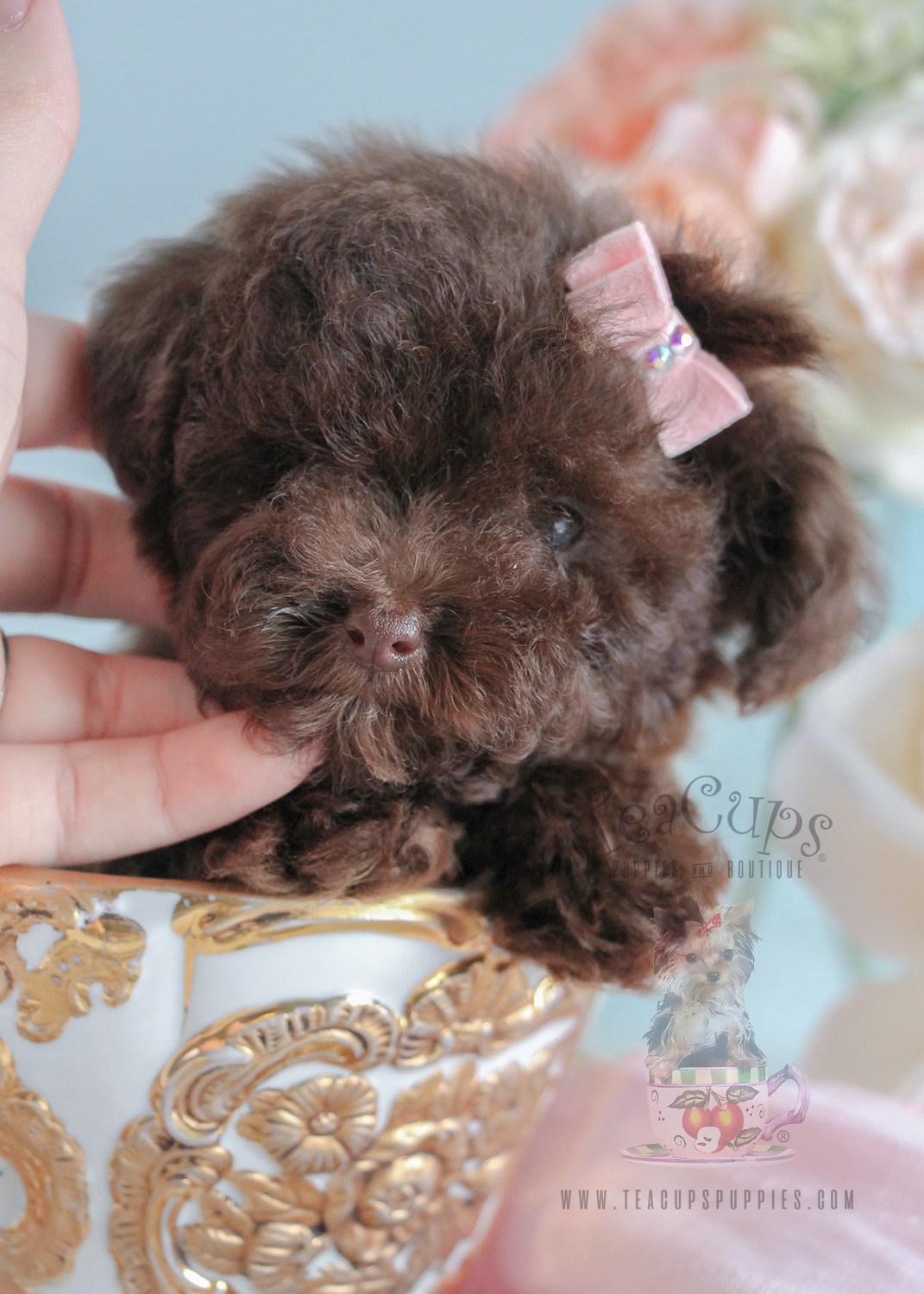 tiny toy poodle puppies for sale
