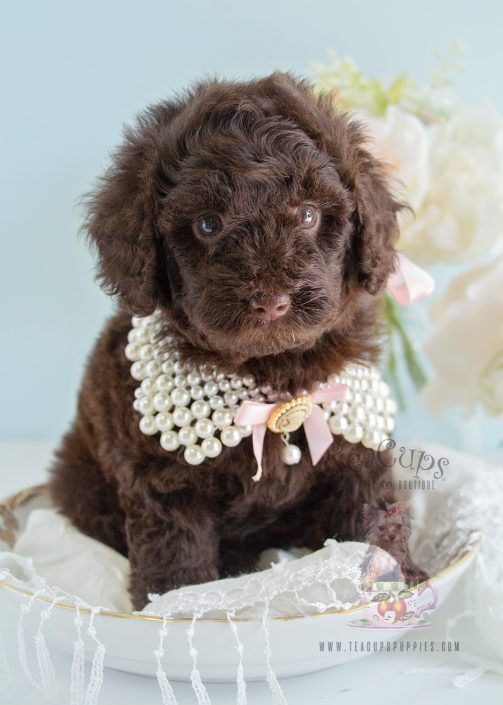 Toy Chocolate Poodle for Sale at Teacups 206