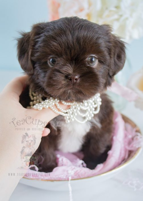 Chocolate Shih Tzu puppy by TeaCups Puppies