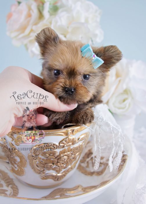For Sale Golden Yorkie Puppy 192