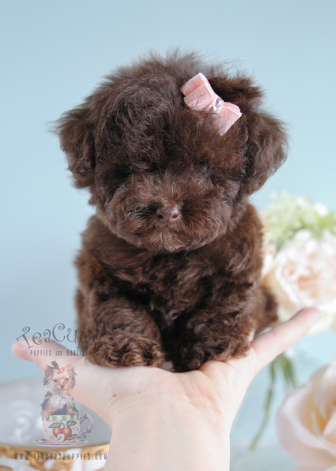 Tiny Toy Poodle Puppies For Sale | Teacups, Puppies & Boutique
