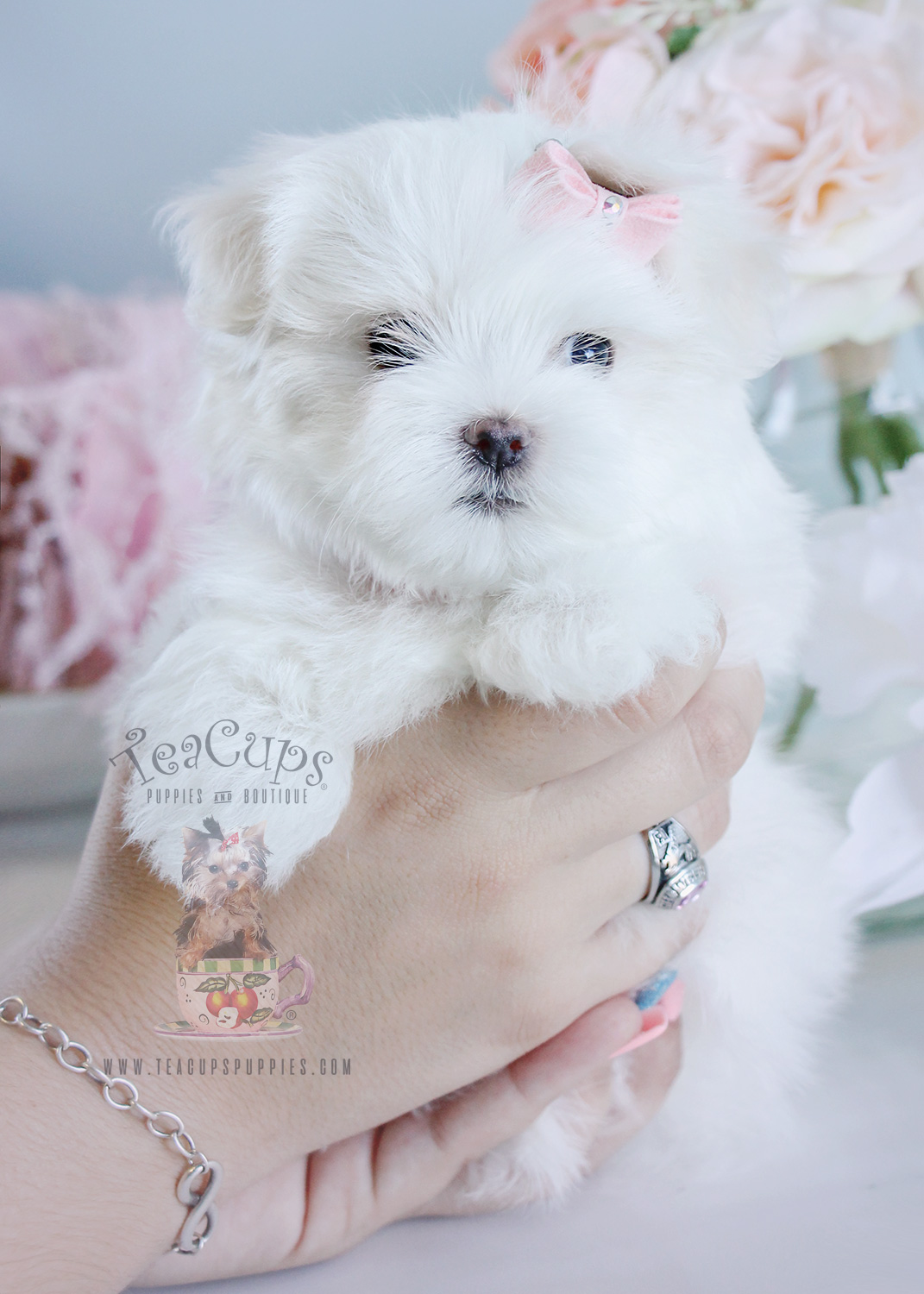 For Sale 209 Teacup Puppies Maltese Puppy