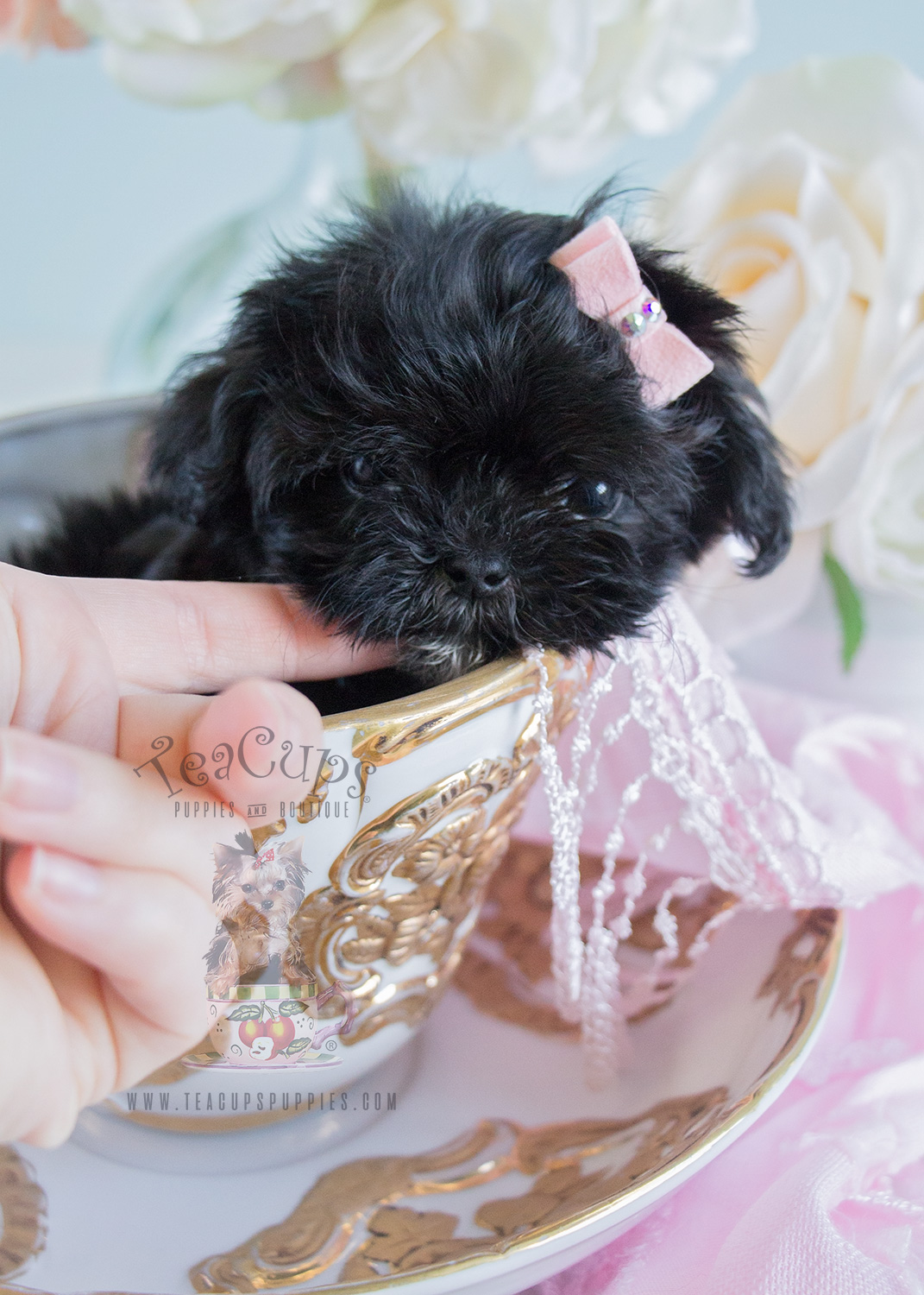 10oz Maltipoo Puppy For Sale!