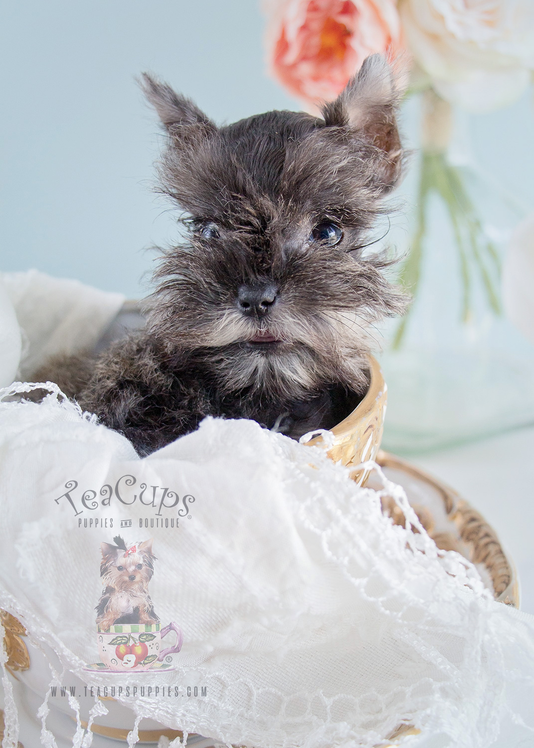 Schnauzer Puppies For Sale at Teacups Puppies & Boutique