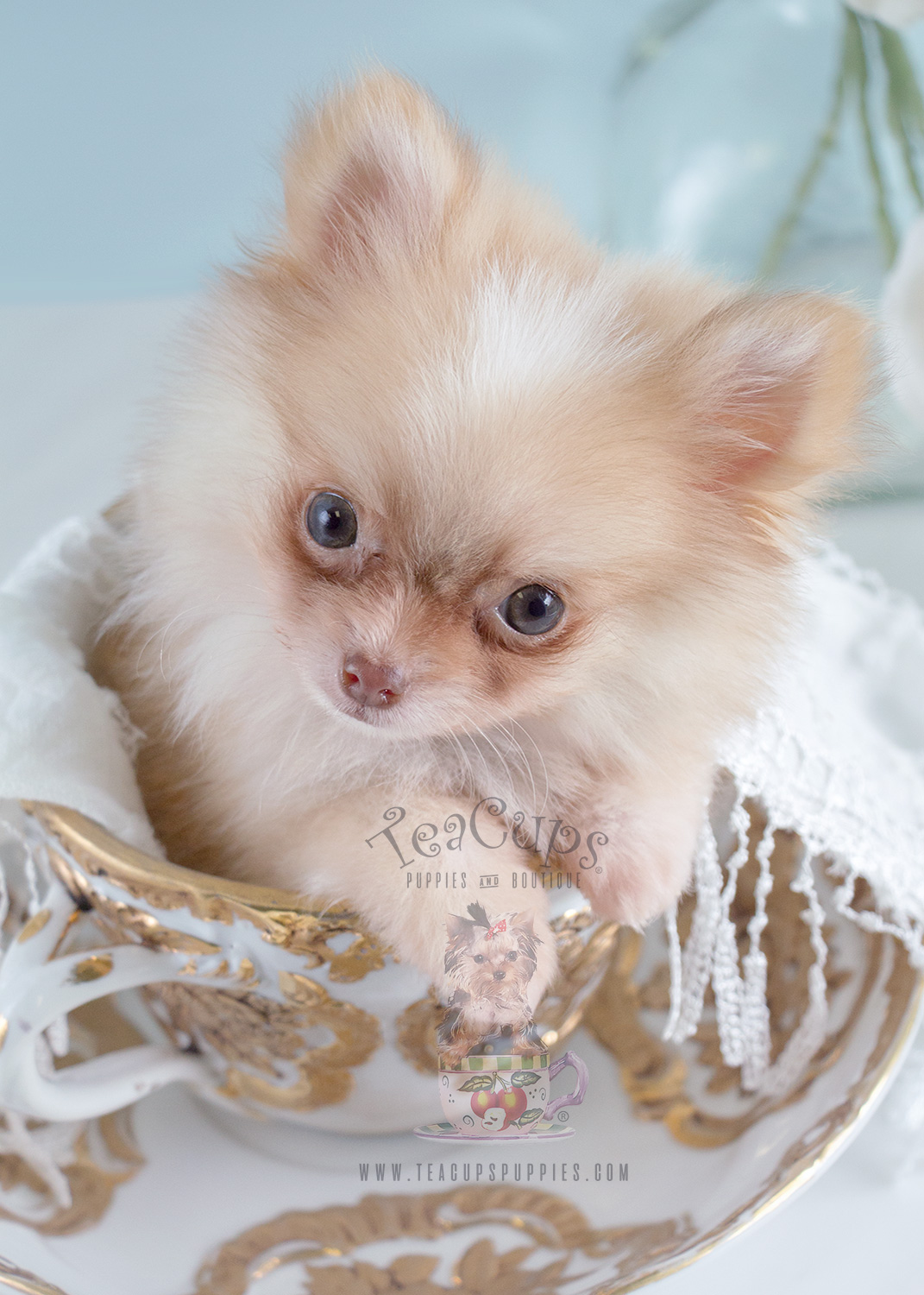 the cutest little pomeranian puppies for sale