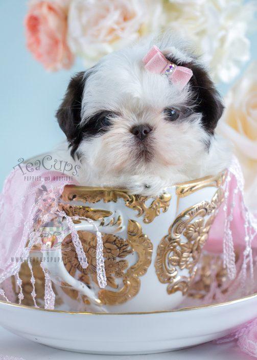 Shih Tzu Puppy #204 For Sale