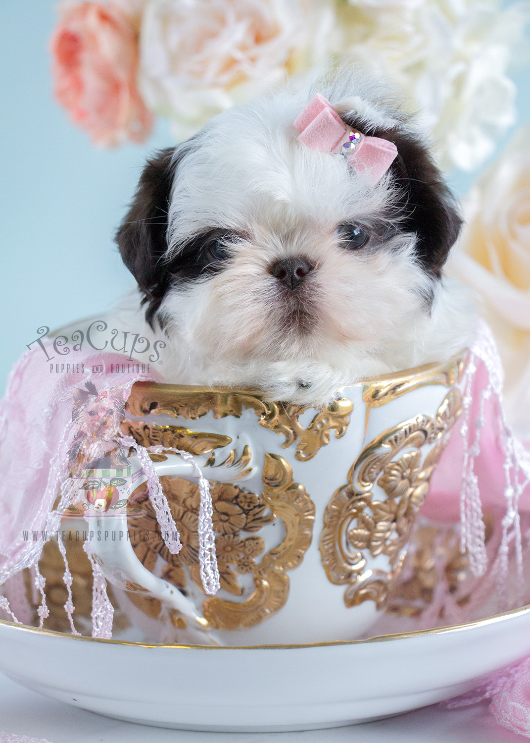 Shih Tzu Puppy #204 For Sale