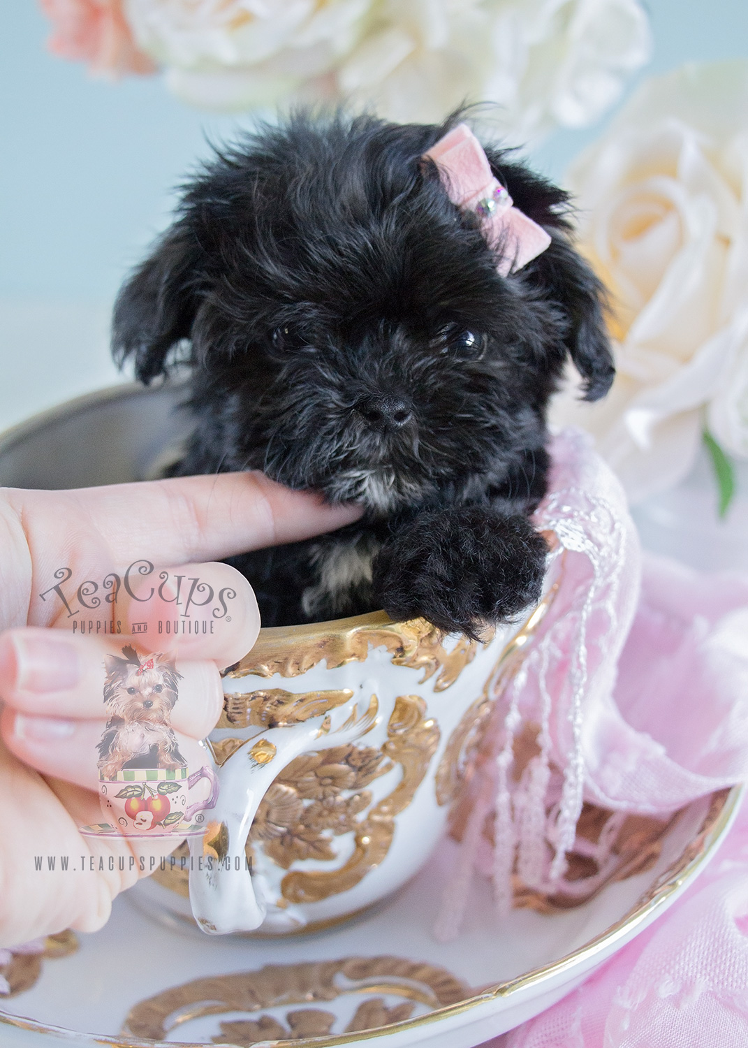 Micro-Teacup Maltipoo Puppy For Sale