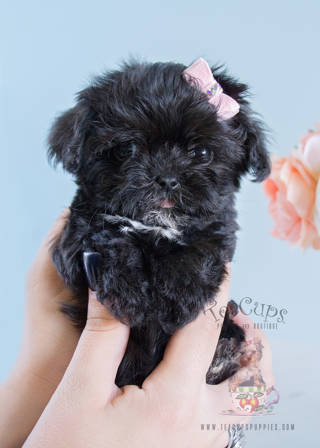 Teacup Maltipoo Puppy For Sale #189