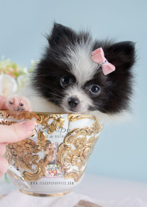 Cute Pomeranian puppy for sale by TeaCup Puppies in South Florida