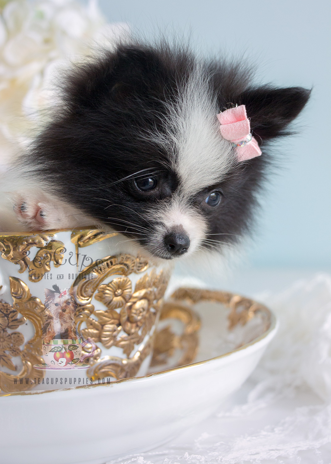 Adorable Little Pomeranian Puppies For Sale Teacups