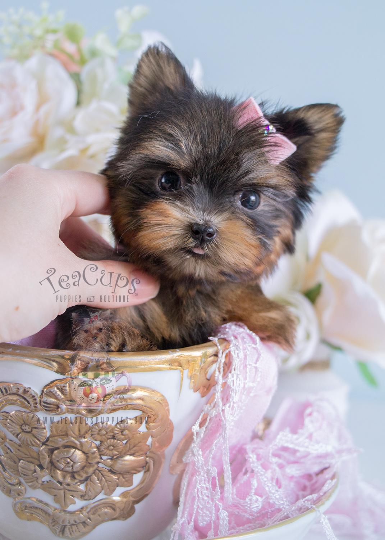 Teacup Yorkie #185 For Sale Teacups Puppies