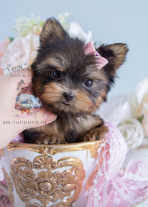 Beautiful Teacup Yorkie Puppy by TeaCup Puppies