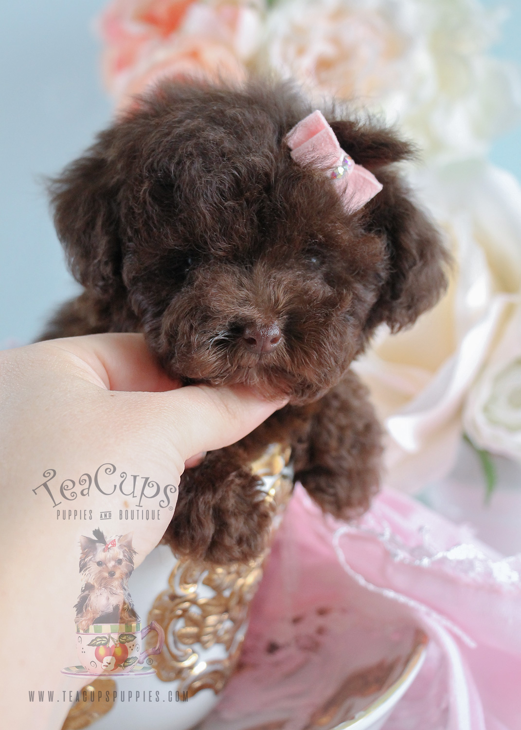 Chocolate Poodle Puppies at Teacups Puppies and Boutique For Sale