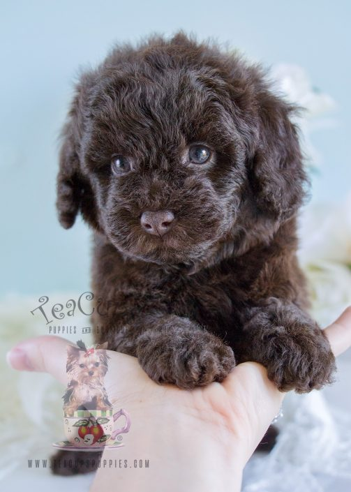 Toy Poodle Puppy For Sale 207