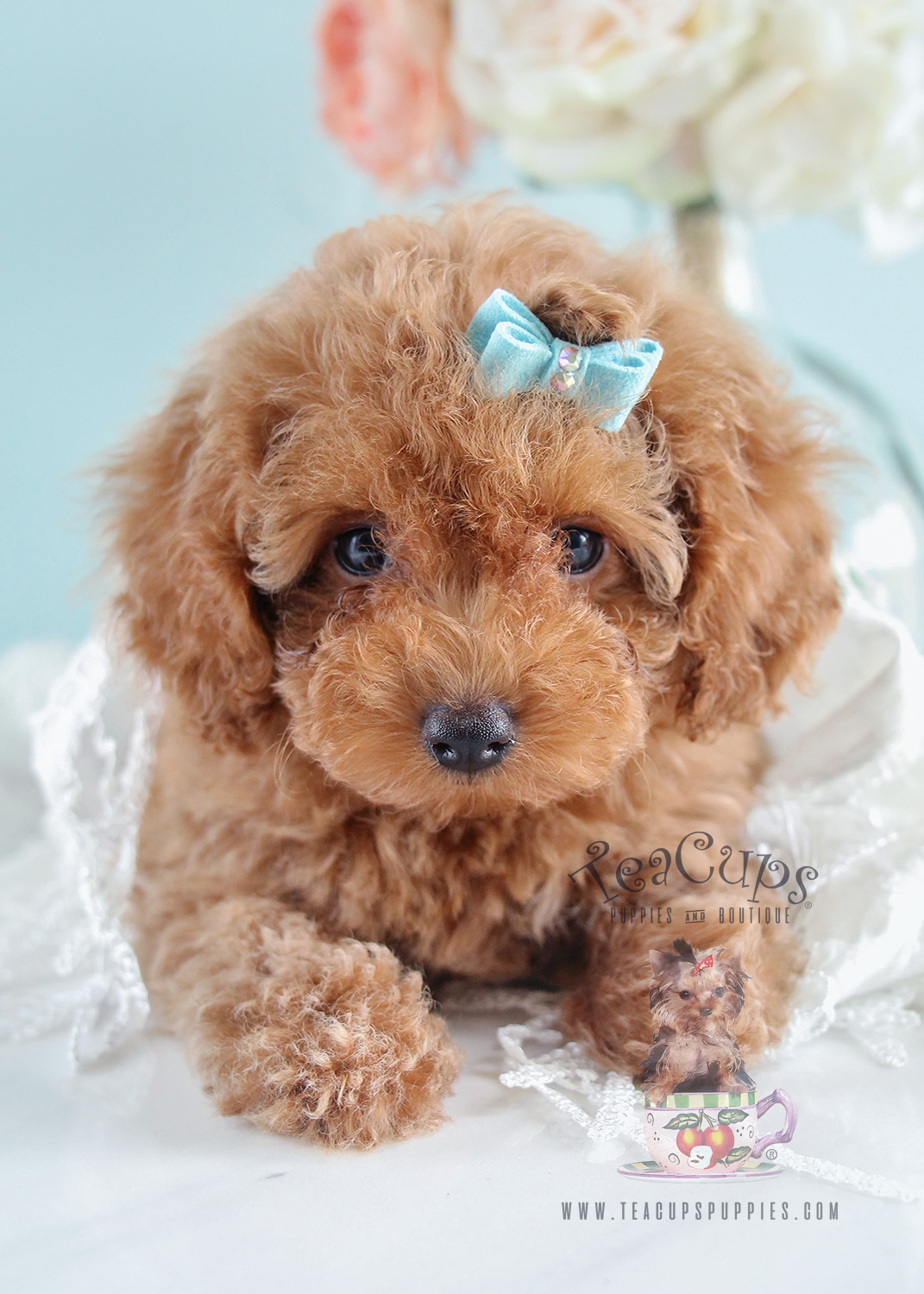 Teacup Puppies Toy Poodle Puppy For Sale 203