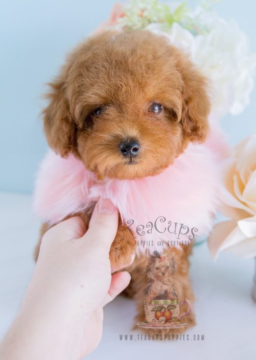 Available at Teacups Puppies Red Toy Poodle