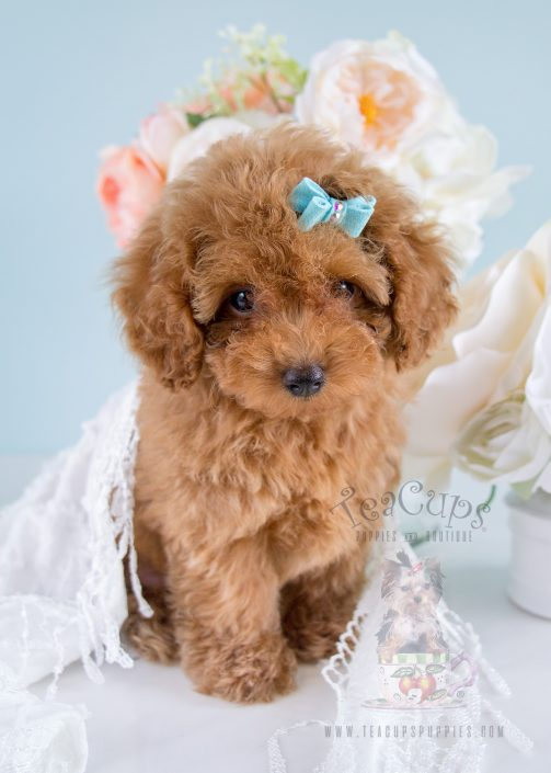 Teacup Puppies 203 Toy Poodle Puppy For Sale