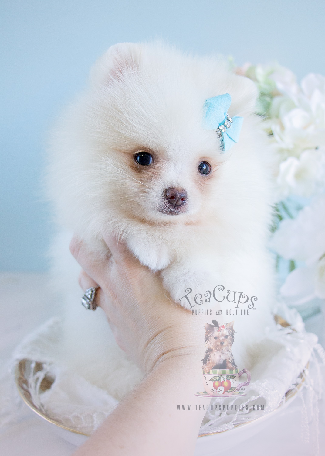For Sale at Teacups Puppies - White and Cream Pomeranian Puppies