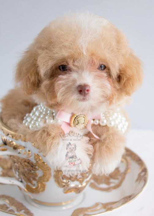 Teacups Puppies Apricot Poodle Puppy For Sale