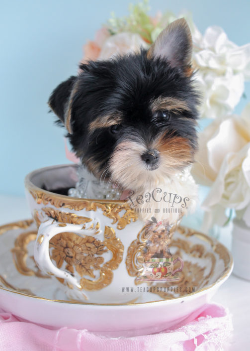 For Sale Teacup Puppies Biewer Yorkie Puppy #235