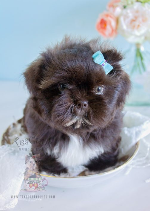 For Sale Teacups Puppies Chocolate Shih Tzu Puppy