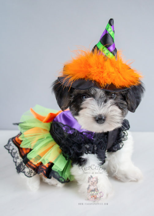 For Sale Teacup Puppies Morkie Puppy 239