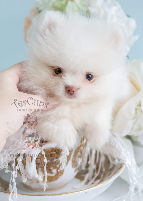 #232 Teacup Puppies Pomeranian Puppy For Sale