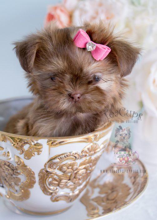 Shih Tzu Puppy 213 For Sale