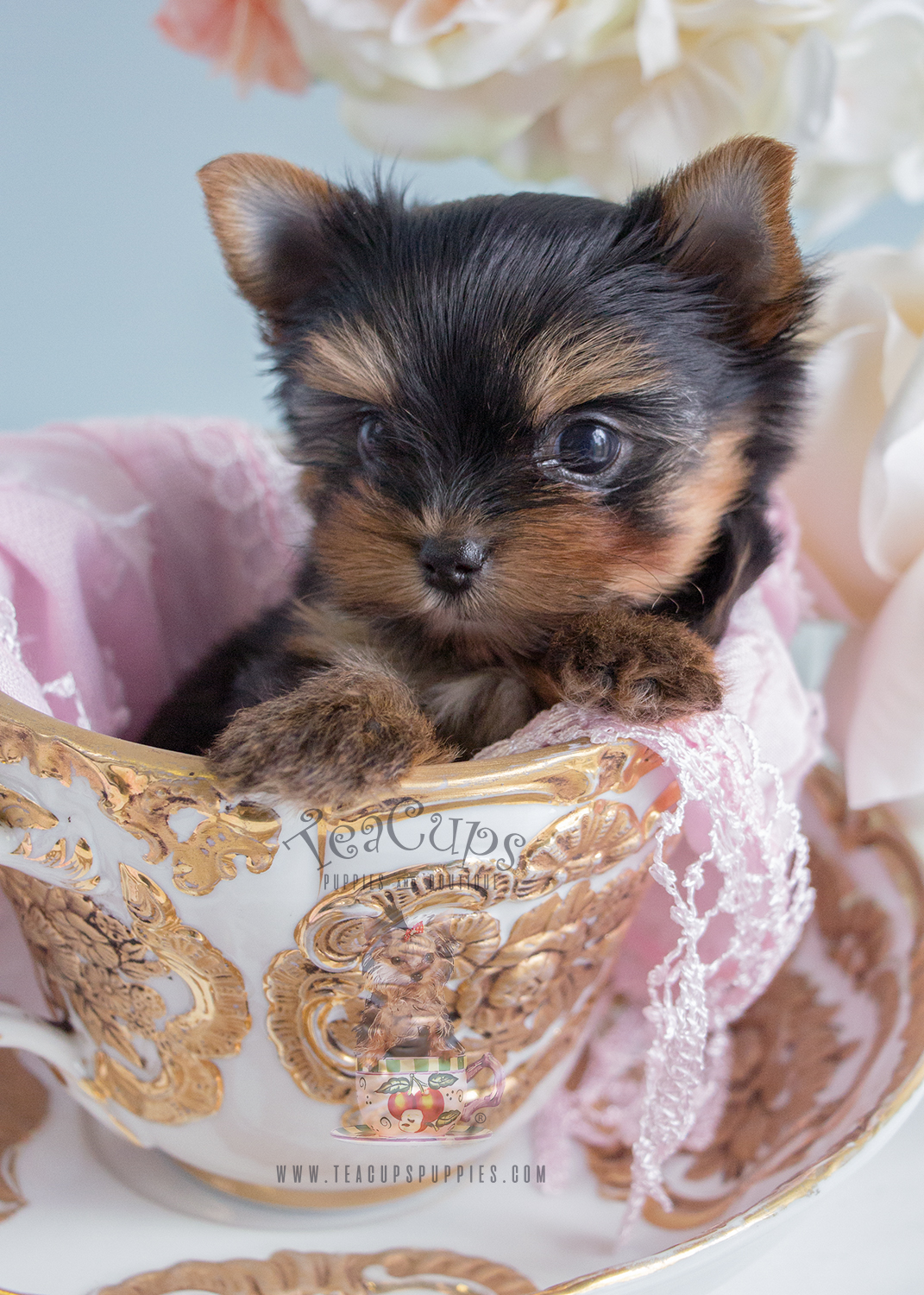 Teacup Puppies Teacup Yorkie Puppy For Sale #233