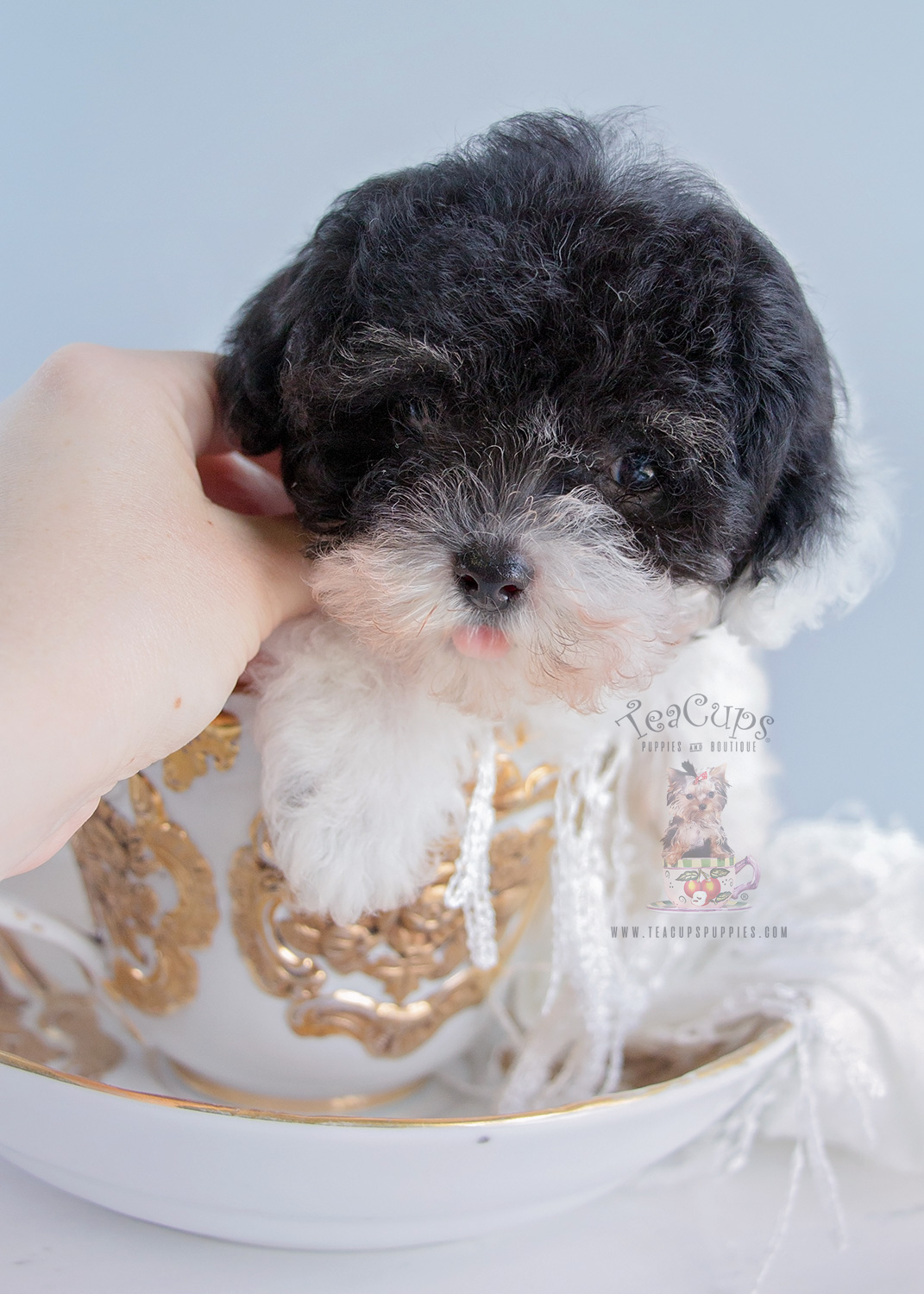 #242 Teacup Puppies Toy Poodle For Sale