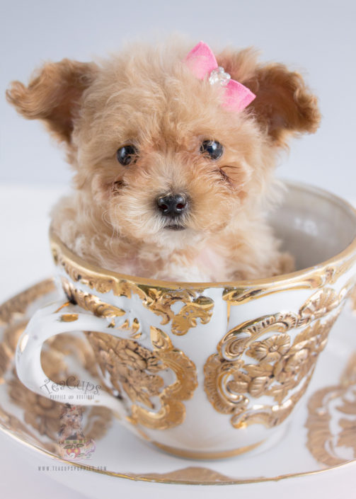 Davie Florida Teacups Puppies Poodles