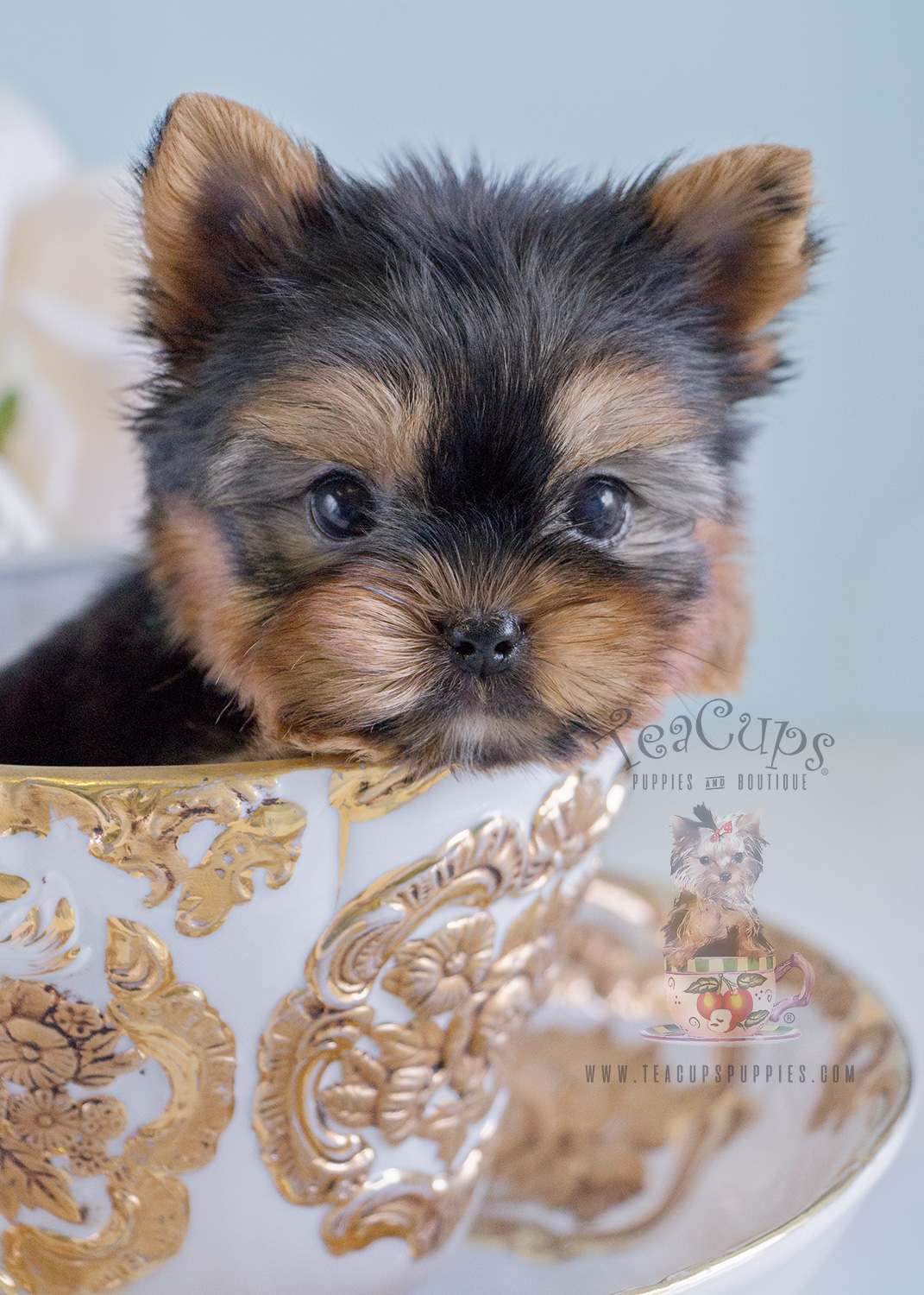 Yorkie Puppy For Sale 223