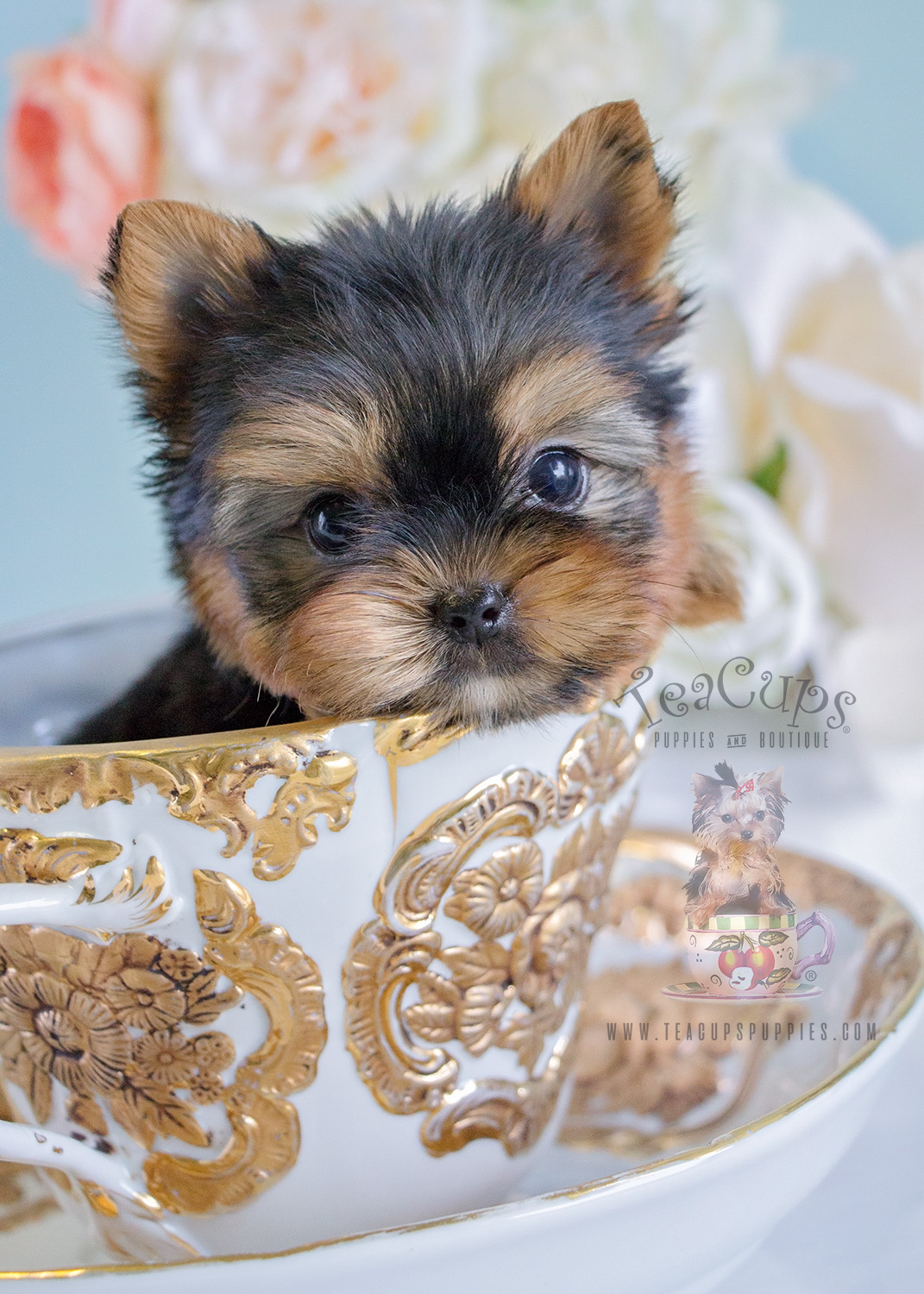 Adorable Yorkie Puppy For Sale In Broward County Teacups