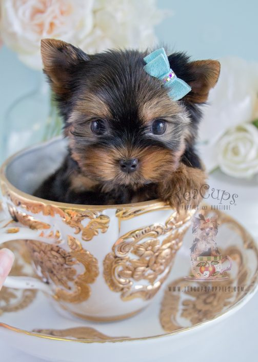Yorkie Puppy For Sale by Teacups Puppies