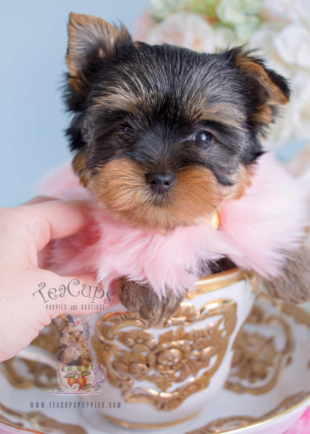 #238 Teacup Puppies Yorkie Puppy For Sale