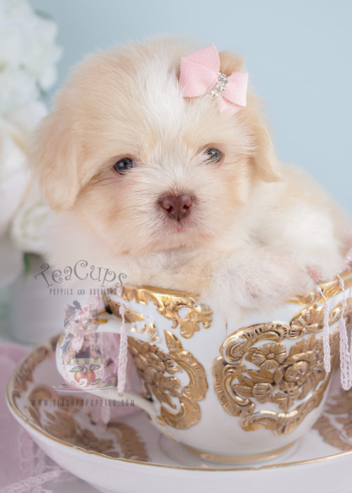 Shih Tzu Puppy For Sale 249 Teacups Puppies Adorable