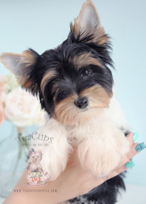 Biewer Yorkie Puppy For Sale 244 Teacup Puppies