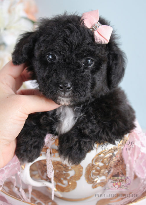 For Sale 253 Teacups Puppies Black Poodle Puppy